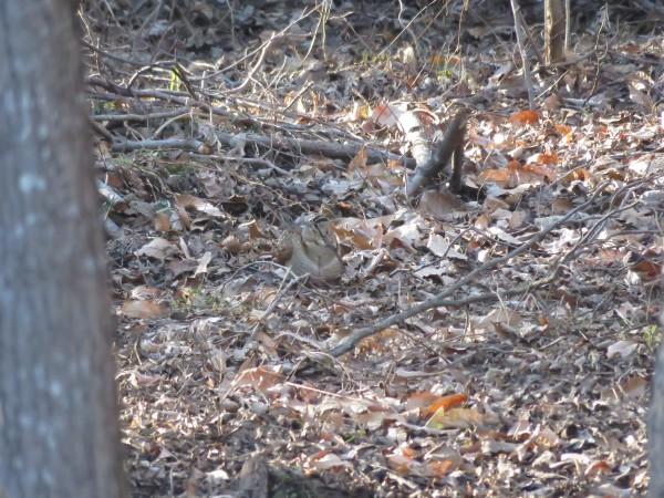 舞岡公園の野鳥 ヤマシギ