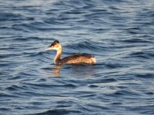 カンムリカイツブリ 三番瀬海浜公園の野鳥