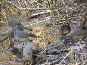 ヒヨドリ 葛西臨海公園の野鳥