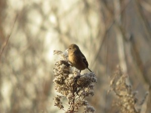 ベニマシコ メス 涸沼の野鳥