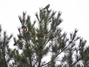 イスカの群れ 嵯峨塩深沢林道の野鳥