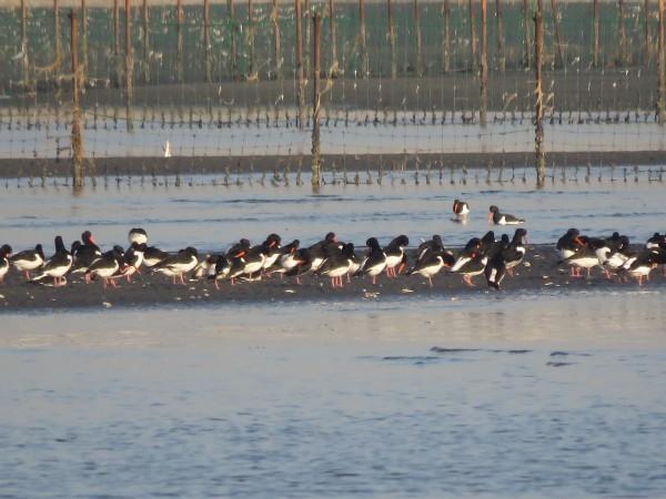 ミヤコドリ 群れ 三番瀬海浜公園
