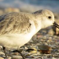 ミユビシギ 三番瀬海浜公園の野鳥