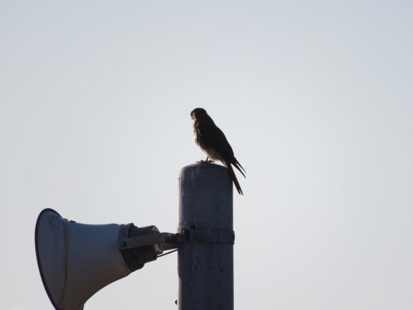 チョウゲンボウ 三番瀬海浜公園の野鳥