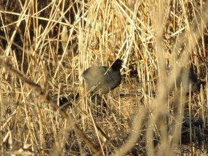 オオバン 葛西臨海公園の野鳥
