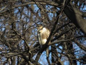 ノスリ 明治神宮の野鳥