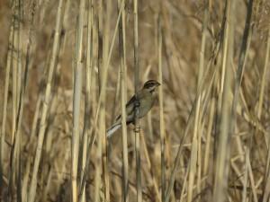 オオジュリン 涸沼の野鳥