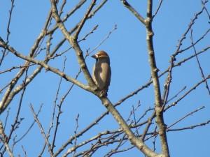 シメ 小木津山森林公園の野鳥