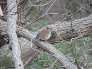 シロハラ 舞岡公園の野鳥