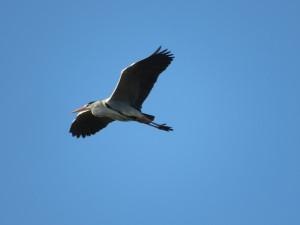 アオサギ 葛西臨海公園の野鳥