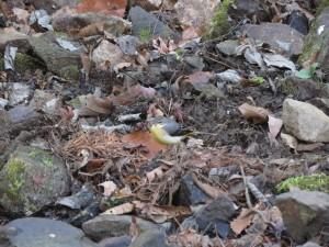 キセキレイ 小木津山森林公園の野鳥