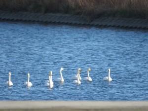 オオハクチョウ 大北川河口付近の野鳥
