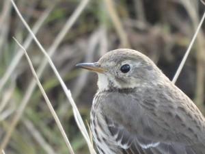 涸沼の野鳥 タヒバリ