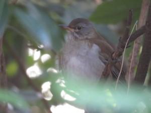 シロハラ 葛西臨海公園の野鳥
