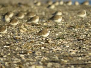 シロチドリ 三番瀬海浜公園の野鳥