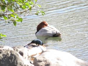 ホシハジロ 新宿御苑の野鳥