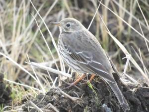 タヒバリ 涸沼の野鳥