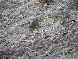 アオジ 葛西臨海公園の野鳥