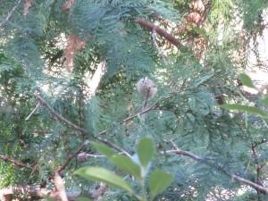 キクイタダキ 小木津山森林公園の野鳥
