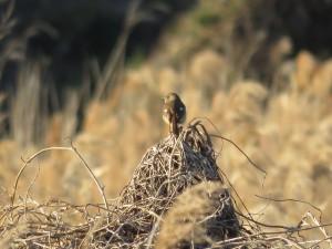 ジョウビタキ 葛西臨海公園の野鳥