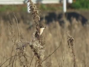 モズ 涸沼の野鳥