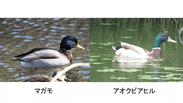 マガモの画像 p1_14
