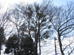 東高根森林公園 ヤドリギ (2)