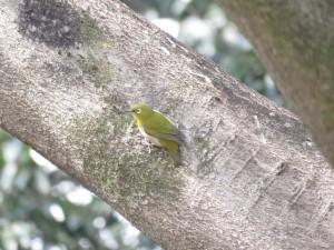 メジロ 東高根森林公園