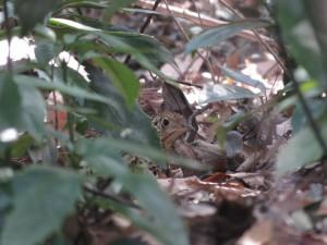 トラツグミ 東高根森林公園