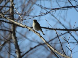 ルリビタキ 軽井沢野鳥の森