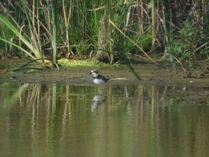 コチドリ 北印旛沼