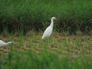 アマサギ 浮島のハス田