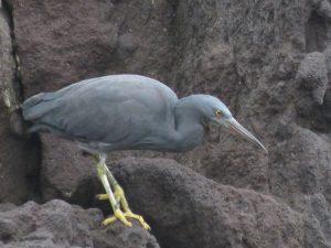 クロサギ 真鶴半島自然公園