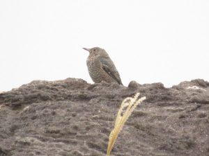 イソヒヨドリ メス 真鶴半島自然公園