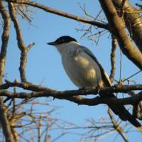 オナガ 葛西臨海公園の野鳥