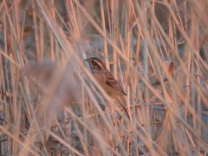 オオジュリン 三番瀬海浜公園の野鳥