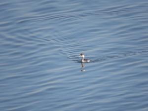 ハジロカイツブリ 多摩川河口付近の野鳥