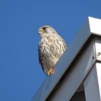 チョウゲンボウ  多摩川河口付近の野鳥