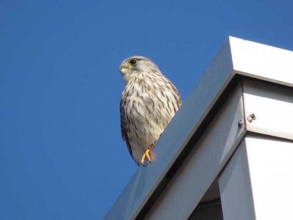 チョウゲンボウ  多摩川河口付近の野鳥 冬の猛禽類の観察におすすめの探鳥地