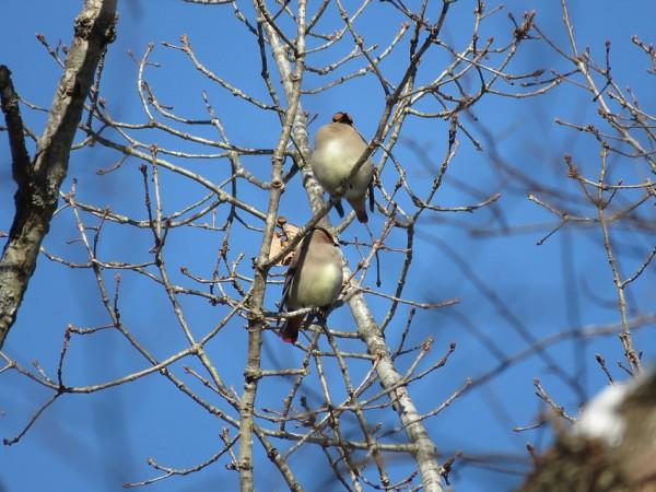 ヒレンジャク 軽井沢野鳥の森