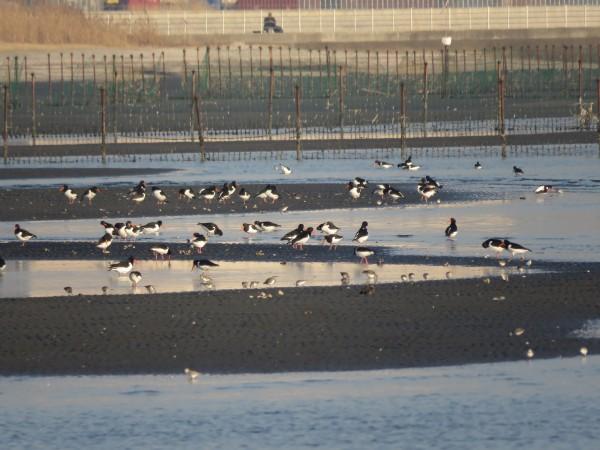 ミヤコドリ 群れ 三番瀬海浜公園 (2)