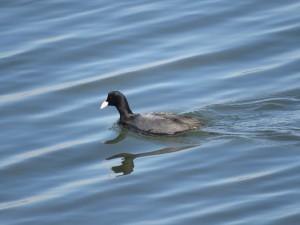 オオバン 多摩川河口付近の野鳥