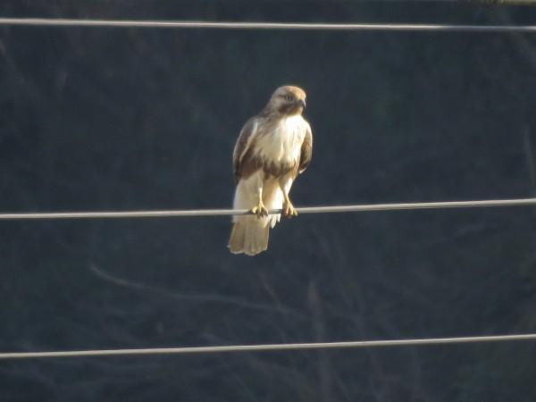 ノスリ 幼鳥 涸沼の野鳥 冬の猛禽類の観察におすすめの探鳥地