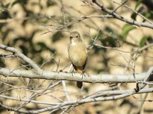 ジョウビタキ メス 多摩川河口付近の野鳥