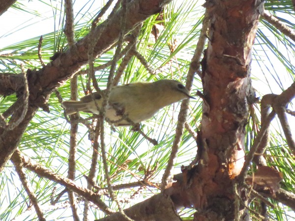キクイタダキ1 小木津山森林公園の野鳥