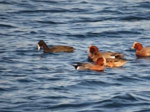 オオバン ヒドリガモ 三番瀬海浜公園の野鳥