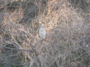 オオタカ 葛西臨海公園の野鳥