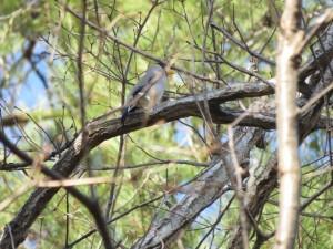イカル 小木津山森林公園の野鳥