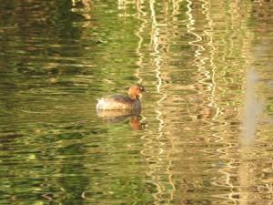 カイツブリ 葛西臨海公園の野鳥