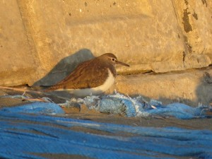 イソシギ 三番瀬海浜公園の野鳥